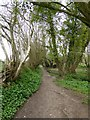 SY2394 : A woodland section of the East Devon Way by David Smith
