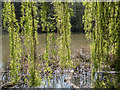TQ2897 : Weeping Willow, Trent Park, Cockfosters, Hertfordshire by Christine Matthews