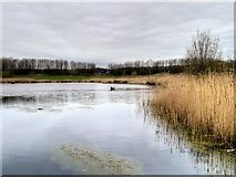 SD5830 : Brockholes Nature Reserve; Reedbeds, Meadow Lake by David Dixon