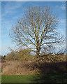 SP2964 : A middle-aged ash tree, Myton Fields, Warwick by Robin Stott