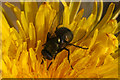 HP6208 : The muscid fly Neomyia cornicina, Baltasound by Mike Pennington