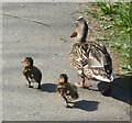 TQ0208 : Mother duck taking the kids for a walk by Rob Farrow