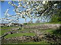TQ4778 : Blossom time at Lesnes Abbey by Marathon
