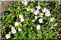 NO7192 : Wood Sorrel (Oxalis acetosella) by Anne Burgess