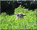 SE3905 : Lambs sunbathing near New Hall Farm by Neil Theasby