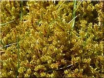 NS3977 : Springy Turf-moss (Rhytidiadelphus squarrosus) by Lairich Rig