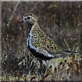 SE7294 : Golden plover, Bank Top by Pauline E