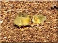SD8303 : Goslings at Heaton Park by David Dixon