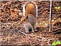 SD8303 : Young Squirrel at Heaton Park by David Dixon