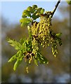 SX8078 : Oak flowers by the Bovey by Derek Harper