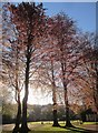 SX9164 : Copper beeches, Upton Park by Derek Harper