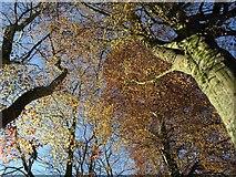 SX9164 : Copper beeches, Upton Park by Derek Harper