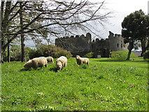 SX1061 : Sheep at Restormel Castle by Gareth James