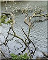 SS8086 : Dead tree in Margam Lake by eswales