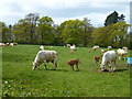 TF0711 : Cows with calves in Shillingthorpe Park, Greatford, Lincolnshire by Richard Humphrey