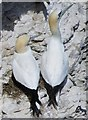 TA1974 : Pair  of  Gannets  nesting  on  Bempton  Cliffs by Martin Dawes