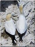 TA1974 : Pair  of  Gannets  nesting  on  Bempton  Cliffs by Martin Dawes
