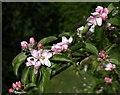 SX9065 : Apple blossom, Torre by Derek Harper