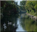 SP3481 : Swans on the Coventry Canal by Mat Fascione