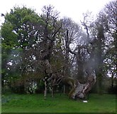 NO3524 : An old Spanish chestnut at Balmerino by Stanley Howe