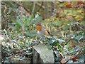 NY2522 : Woodland robin by Graham Robson