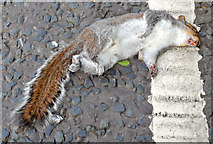 J4078 : Dead squirrel, Holywood (May 2015) by Albert Bridge
