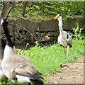 SJ9495 : Heron facing off a Canada Goose by Gerald England