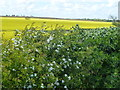 TF0309 : Hawthorn and rapeseed in Rutland by Richard Humphrey