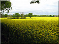 TG2703 : Flowering oilseed rape crop near Framingham Pigot by Evelyn Simak