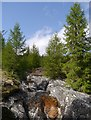 NH2613 : Larch trees by the Allt na Muic by Craig Wallace