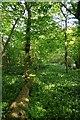 TQ5497 : Fallen Tree in Redgate Wood by Glyn Baker