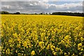 SP1433 : Oil seed rape by Philip Halling