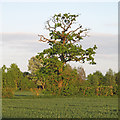 TL9433 : Tree on arable field boundary, near Bowdens, Wormingford  by Roger Jones