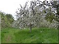 SX4268 : Apple blossom in Cotehele orchard by David Smith
