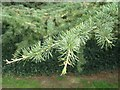 SP3265 : Shoot of Cedar of Lebanon, Jephson Gardens, Royal Leamington Spa by Robin Stott