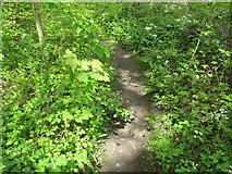 TQ2282 : Sycamore seedling in woodland, Wormwood Scrubs by David Hawgood