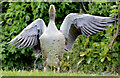 J3675 : Greylag goose, Victoria Park, Belfast - May 2015(1) by Albert Bridge