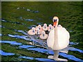 SD7807 : Swan with Cygnets, Manchester, Bolton and Bury Canal by David Dixon