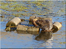 ST4286 : Water vole, Magor Marshes by Ruth Sharville