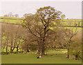 NY4226 : Oak tree & Herdies by Matthew Hatton