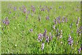 SO7940 : Green-winged orchids by Philip Halling