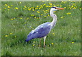SP4745 : Heron next to the Oxford Canal by Mat Fascione