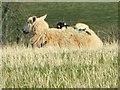 SO0953 : Lamb on a sheep's back by Bill Nicholls
