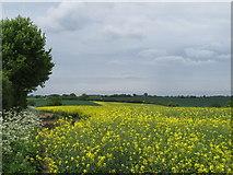 TL9250 : Oilseed rape field near Moneyhole Corner, Lavenham by Roger Jones