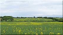 TL9746 : Oilseed Rape field near Boyton Hall, Monks Eleigh by Roger Jones