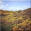 NY0846 : Mawbray gorse by Richard Thomas