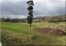 SO6613 : Tall thin conifer in the south of Littledean by Jaggery