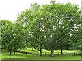 SU9972 : Magna Carta oaks (2) by Stephen Craven
