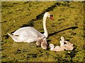 SD7807 : Single Father with Cygnets by David Dixon