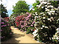TQ0182 : Rhododendrons, Temple Gardens, Langley Park (1) by David Hawgood